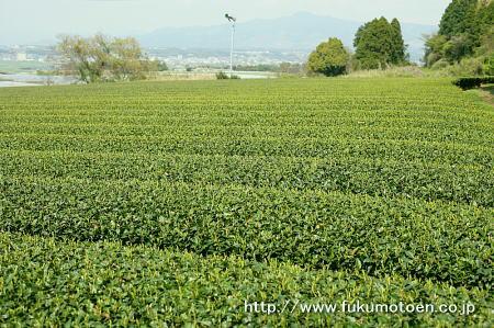 一番成長の早い茶園