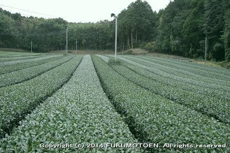 一番茶後中刈園2